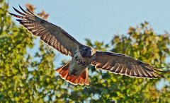 Red-tailed Hawk (ctberney) Tags: redtailedhawk buteojamaicensis flying bird hawk raptor nature