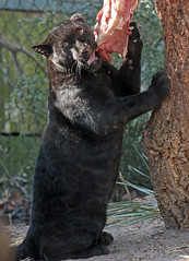 jaguar Artis BB2A5477 (j.a.kok) Tags: jaguar jaguarcub blackjaguar zwartejaguar pantheraonca kat cat animal artis mammal zoogdier zuidamerika southamerica dier