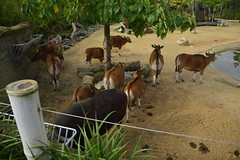 Chester Zoo Islands (82) (rs1979) Tags: chesterzoo zoo chester islands banteng