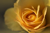 soleil d'hiver (christophe.laigle) Tags: rose christophelaigle fleur macro yellow nature flower fuji jaune droplets gouttes xpro2 xf60mm pluie legacy