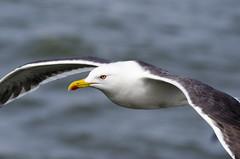 Flying gull (Jan van der Wolf) Tags: 12657v gull meeuw flyingbird flying dof scherptediepte depthoffield sea nature natuur