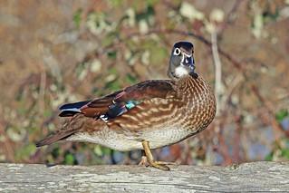 Wood Duck Hen 17-1231-0552