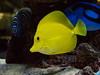 Peces en el acuario. (Luis Pérez Contreras) Tags: fish pez acuario tarragona restaurante japonés dayu sakura olympus em1markii m25mm f12