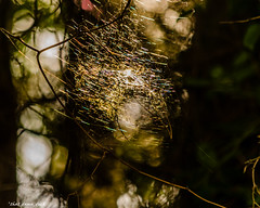 Sunlit Spider Web (that_damn_duck) Tags: web spiderweb sunlit nature forest vine