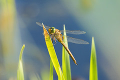 Dragonfly (Artur Rydzewski) Tags: dragonfly insect gras light wings macro nature green blue bladeofgrass blade