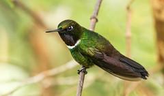 IMG_7958  Gorgetted Sunangel_hummingbird (ashahmtl) Tags: gorgettedsunangel bird hummingbird heliangelusstrophianus bellavistalodge nanegalito pichinchaprovince ecuador