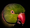 The Mysterious Bird of Ulieta (x-raymond) Tags: bird novel macromondays book macro closeup family pretty canon green feather bill face 14jan18 child animal indian indianringneck pose fiction smile rebel parakeet hmm happy pet eye natural amateur digital wild eyes epic