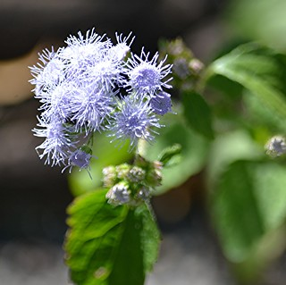 Ageratum or Purple Mist is enticing to bees!