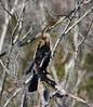 Anhinga (galsafrafoto) Tags: anhinga snakebird nature bird anhingidae darter americandarter waterturkey