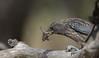 dusky woodswallow (Artamus cyanopterus)-6546 (rawshorty) Tags: rawshorty birds canberra australia act campbell