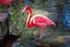 Glowing Flamingo (Donald.Gallagher) Tags: animals birds fl flamingo flamingos florida glow layers nature northamerica public summer topazstudio typecolor typelightroom typephotoshop typeshutterbuttonfocus typetelephoto usa wadingbirds