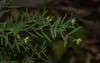 Pimelea neo-anglica (dustaway) Tags: thymelaeaceae pimelea pimeleaneoanglica australianshrubs australianflora nature richmondrangenationalpark clarencevalley northernrivers nsw australia