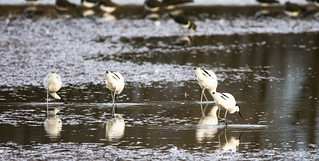 do four avocets constitute an orchestra?
