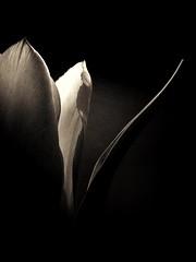Tulip (J.C. Moyer) Tags: tulip blackandwhite rustic flower darkbackground lightdark gothic motorolamotog4plus leaf