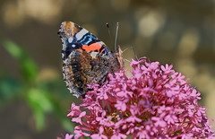 Butterfly (Geoff Fagan) Tags: butterfly butterflies butterflymacro macrodreams macro macrophotography near close closeup nature garden flower sony sonyalpha