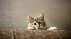 Surprise ! (virginiefort) Tags: norwegianforestcat chatdesforêtsnorvégiennes norvégien nfo 60mmmacro caps d600 cat chat chaton kitten nikon portrait portraiture