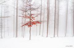 Color en un manto blanco (Jabi Artaraz) Tags: jabiartaraz jartaraz zb haya nieve invierno manto blanco mantoblanco nature alerces bosque saldropo gorbea landscape natura barazar