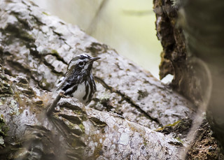 Black-and-white Warbler (Mniotilta varia) ♂