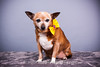 CRT-20180207_Sassy-1.JPG (Alfred Kirst) Tags: akiii photography alfred kirst iii chihuahua rescue transport ak3photography akiiiphotography canon chi dog planopetphotographer planotx planotexas planoweddingphotographer texas cute cutepuppy cutie female foster fosterdog fosterpuppies plano puppies puppy zukepets alfredkirstiii chihuahuarescueandtransport