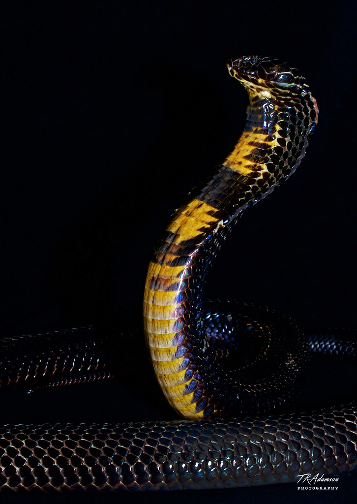 "a study of herpetological neurotoxins Erabutoxins a and b are neurotoxins isolated from venom of a sea snake  a  hypothesis ""evolution without divergence"" is another outcome emerged from the  studies on the snake venom neurotoxins  in yearbook of herpetology (ed."