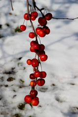 Fruits in the February snow, Botanical garden, Budapest / Budai arborétum (sovcsil) Tags: berries fruits red