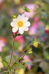 0F1A3702-2 (Liaqat Ali Vance) Tags: flower dahlia nature white colors google liaqat ali vance photography lahore punjab pakistan