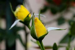 Vacances_0329 (Joanbrebo) Tags: riquewihr grandest francia fr alsace hautrhin canoneos80d eosd efs1855mmf3556isstm autofocus flors flores flowers fleur fiori blumen blossom rosa rose