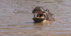 Enjoying the Mara River (JoCo Knoop) Tags: tanzania serengeti marariver