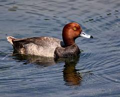The Copper Top Duck (Darts5) Tags: redhead redheadduck duck ducks bird birds pond divingducks bayducks 7d2 7dmarkll 7dmarkii 7d2canon ef100400mmlll closeup canon7d2 canon7dmarkll canon7dmarkii canon canonef100400mmlii upclose uglyduck uglyduckling