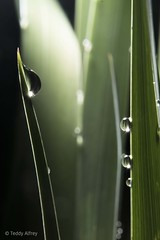 Raindrops on Iris Leaves (Teddy Alfrey) Tags: nature green waterdrops garden iris raindrops macro rain water