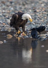 Reflected Eagle (elliott845) Tags: eagle baldeagle haliaeetusleucocephalus baldy adultbaldeagle birdofprey bird birdinflight raptor nature animal wildlife pnw pacificnorthwest washington washingtonstate predator flight