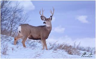 Enjoying the view - Mule Deer Buck