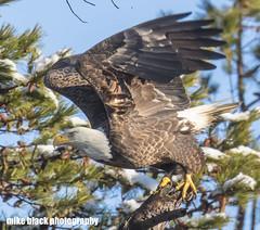Bald Eagle takeoff Canon 5DS NJ Shore (Mike Black photography) Tags: bald eagle bird nature photo photography nj new jersey shore canon 5ds r 800mm lens is l usm snow winter weather birding raptor mike black