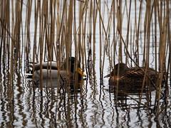 mallard duck couple in the reeds (ewelina pstryka) Tags: bird duck ducks birdwatch birdwatching nature water reed reeds lake couple rendezvous lines