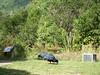 Taken at Zealandia (hmxhm) Tags: aotearoa nature takahe wellington wildlife zealandia newzealand