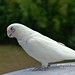 白色鸚鵡,鸚鵡,野生動物,動物,野性,郊外,原野,郊區,鳥類