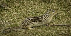 Thirteen-striped Ground Squirrel- (peter57117) Tags: groundsquirrel squirrel ictidomystridecemlineatus stripedgopher rodent mamal mammel coth5