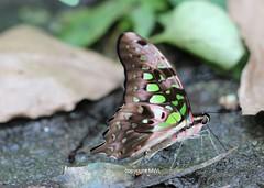 Chiang Mai Lepidoptera (Phil Arachno) Tags: thailand chiangmai asia asien lepidoptera insecta insekt schmetterling