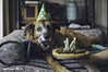 9/52 - Misty's 14th birthday! (yookyland) Tags: 52weeksfordogs 2018 misty 952 senior dog 14th birthday pizza cake