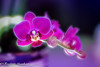 Arrival on time ... (frederic.gombert) Tags: orchid orchidee flower flowers purple red pink light color colors sun sunlight winter indoor spring