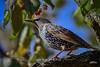 European Starling (jt893x) Tags: 150600mm bird blackbird d500 europeanstarling jt893x nikon nikond500 sigma sigma150600mmf563dgoshsms songbird starling sturnusvulgaris coth thesunshinegroup coth5 alittlebeauty sunrays5