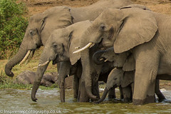 Trunks everywhere (Donna Hampshire) Tags: donnarobinson donnahampshire uganda east africa wildlife nationalgeographic ngc inspiremephotographycouk canon africanelephant elephantfamily loxodontaafricana elephants
