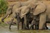 Trunks everywhere (Donna Hampshire) Tags: donnarobinson donnahampshire uganda east africa wildlife nationalgeographic ngc inspiremephotographycouk canon africanelephant elephantfamily loxodontaafricana elephants