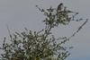 IMG_3404 (armadil) Tags: edgewoodpark bird birds jay jays scrubjay