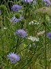 Scabious P1350221mods (Andrew Wright2009) Tags: dorset england uk scenic britain holiday vacation tyneham deserted village army firing range wild plants flowers scabious blue