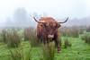 Schotse Hooglander (Wildlife and Landscape Photography) Tags: dieren zoogdieren highland cow