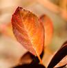 _DSC0841 (steven.frampton) Tags: nature rose leaves