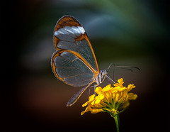 Glasswing butterfly (R22GMS) Tags: butterfly butterflies insects tropical flowers