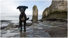 Maggie_1220052 (HJSP82) Tags: 20180122selwicksbay maggie dog beach shore cliffs stack seashore flamborough yorkshire coast eastcoast