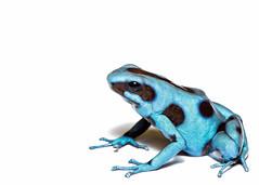 El Cope high key (Jen St. Louis) Tags: dendrobatesauratus elcope amphibian dartfrog frog poisonarrowfrog poisondartfrog captive nikond750 nikon105mmf28 jenstlouisphotography wwwjenstlouisphotographycom highkey